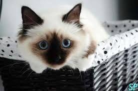 """Résultat de recherche d'images pour """"photos des plus beau chat au monde"""""""