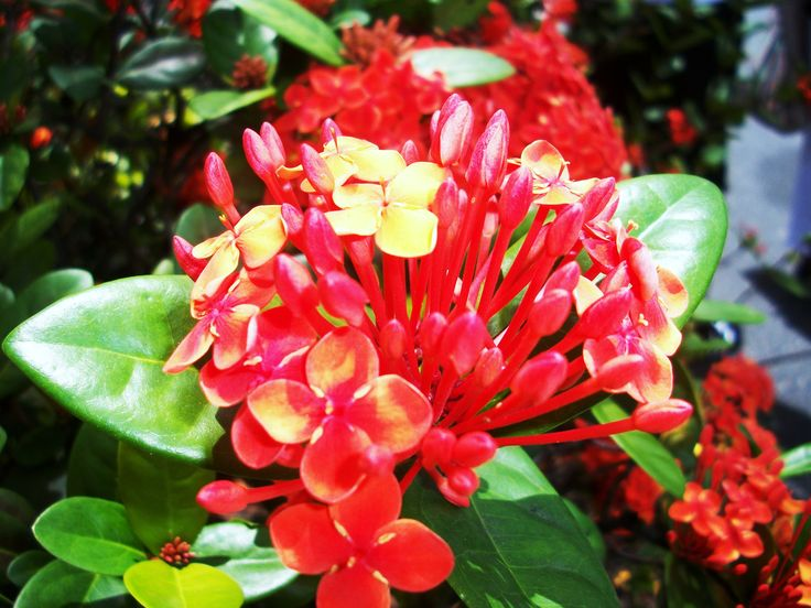 Tropical Island Flowers: 100 Best Images About Caribbean Flowers, Fish & Coral On