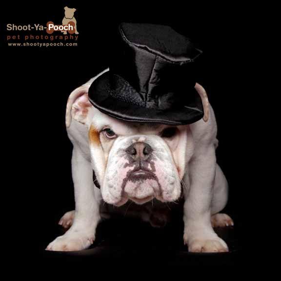 Bulldog photographed by Shoot-Ya-Pooch Pet Photography www.shootyapooch.com