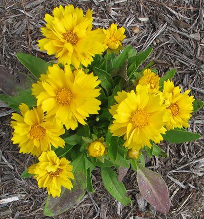 Krásnoočko veľkokveté ´PRESTO´