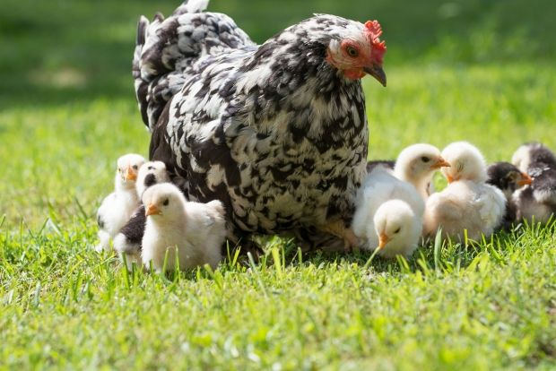 10 Cosas que hay que saber para tener gallinas, hablado sobre la cría de…