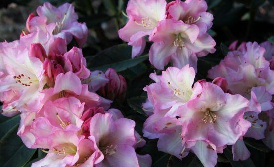 Rhododendron Bruce Bretchbill
