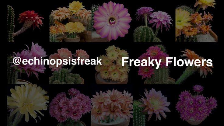 Freaky Flowers - Echinopsis Cacti in Bloom