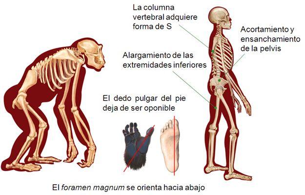 Bipedismo:La marcha bípeda y el mantenimiento vertical del cuerpo requieren profundos cambios en la musculatura y el esqueleto de los precursores simios