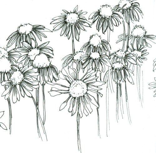 Line Drawing Coneflower : Watercolor sketchbook nature journal pen and ink art
