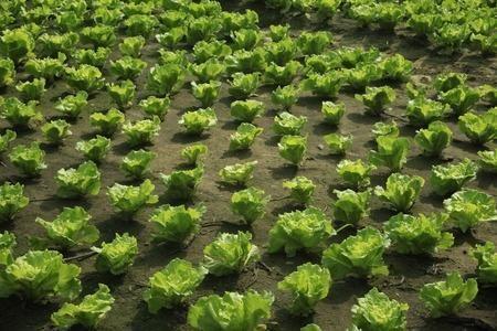 10 növény ami eltávolítja a rovarokat zöldséges kertjéből