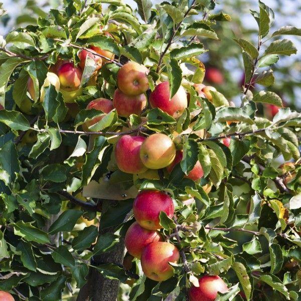 Rød Elstar - Æbletræ