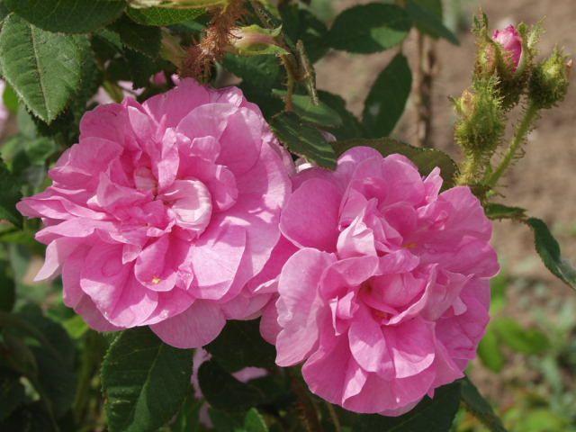 'Duchesse de Verneuil' (1856). Mosroos. Rijke zomerbloei.  Halfgevulde roze camelia-achtige bloemen (8cm). Dik bemoste knoppen. 150cm x 120cm.