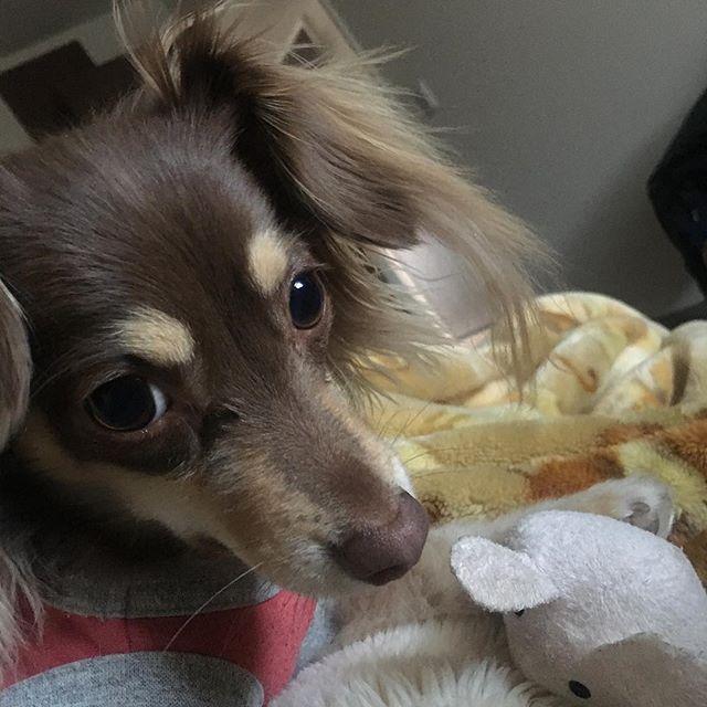 あそぼーよーー。 . . . . #チワックス #ちわっくす #愛犬 #犬 #イヌ #いぬ #チワックス部 #チワックス倶楽部 #ダックスフンド #チワワ #かわいい #あそぼー #可愛い #犬バカ #いぬばか#犬倶楽部 #関西チワックス