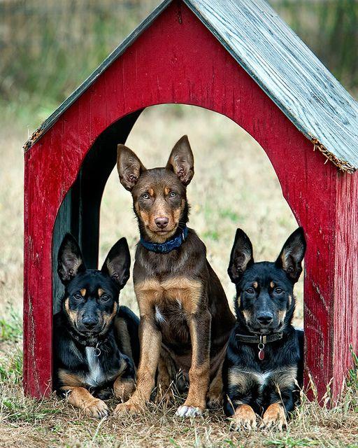Australian Kelpie Puppies in the House
