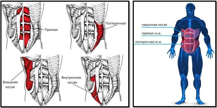 Мышцы пресса строение