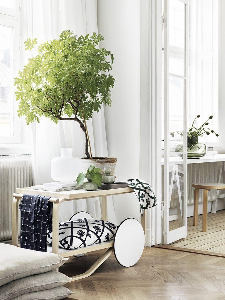 Pelargoner och Dr Westerlund är populära krukväxter. Jag önskar stamma upp en sådan för att skapa ett nytt utseende, som ett litet träd.
