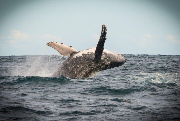 Whale watching trips with Ocean Odyssey in Knysna, South Africa www.dirtyboots.co.za @whaleandsail #dirtyboots #adventuresouthafrica #whaletrips