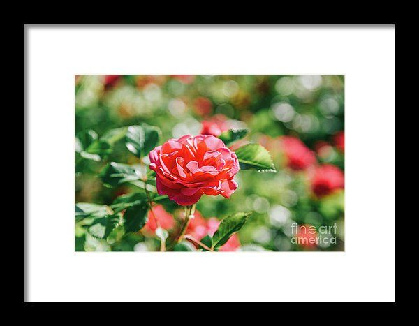 Beautiful Pink Rose Garden In Summer Framed Print