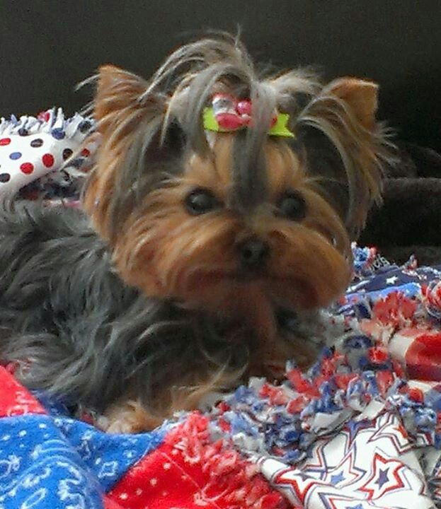 What a pumpkin! Cute yorkie!