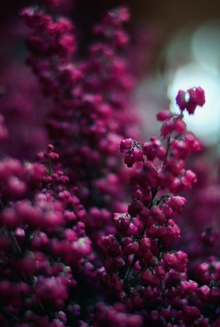 Heather -  harvest when flowering. Bringer of luck and youthful outlook. Also use when meeting new people and hoping for friendship and easy integration. In Ogham tree law, heather rules the summer solstice - June 21st.