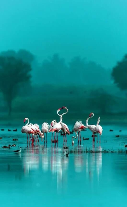 Flamingos in a sea of turquoise