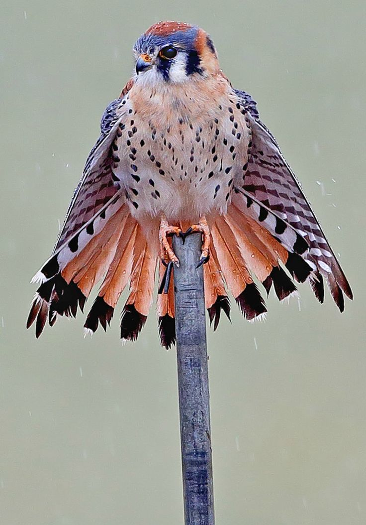 American Kestrel. Photo: Danny Hancock/Audubon Photography Awards.