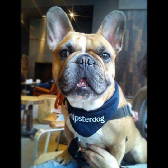 French Bulldog Hipster, via Batpig & Me Tumble It