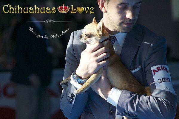 Chihuahuas Love - Exposiciones Caninas. Chihuahuas de Exposición.