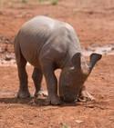 Le bébé rhinocéros a été attaqué par les braconniers alors qu'il tentait de s'approcher de sa mère