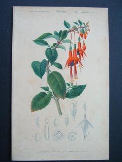 Fuchsia. Hand colored steel engraving. Orbigny.1856.  145 x 245 mm
