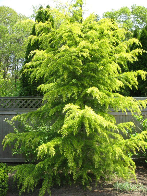 Landscaping Ideas For Cedar Trees : Garden evergreen trees landscaping plants