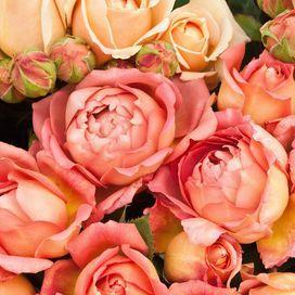 La regina del giardino: amata dai poeti e simbolo degli innamorati, la rosa inebria grazie ai colori sgargianti e il profumo intenso.