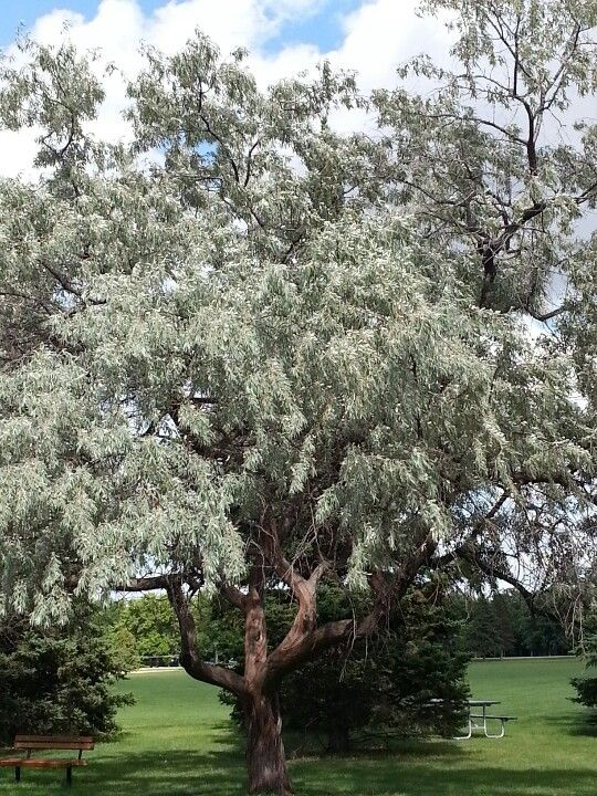 11 best russian olive tree images on pinterest russian