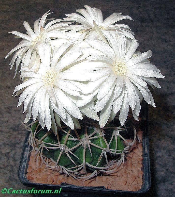Discocactus Crystalophillum.