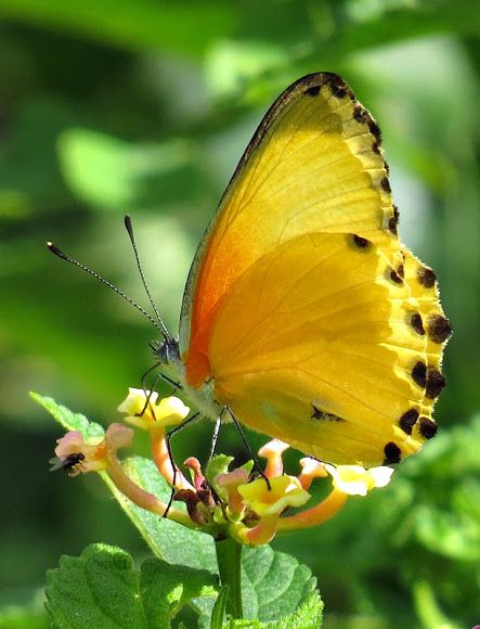~Common Dotted Border butterfly~
