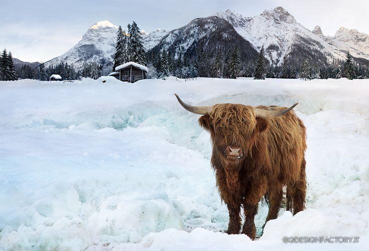 Scottish cow by Virginio Perissinotto on 500px