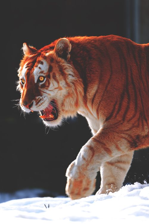 vividessentials: Walking Golden Tiger | vividessentials