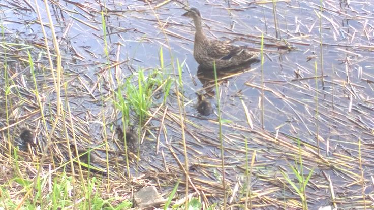 More the duck chicks