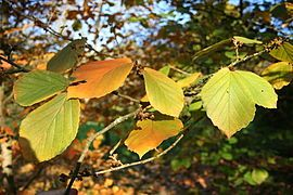 Witch-hazel - Wikipedia