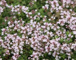 Thymus serpyllum 'Pink Chintz', thyme. This mat-forming thyme produces a mass of clear pink flowers in summer. It's an ideal ground cover plant for a sunny border or rock garden. Useful for attracting bees and other beneficial pollinating insects into the garden, the aromatic grey-green leaves release a lovely scent whenever they are trodden on.