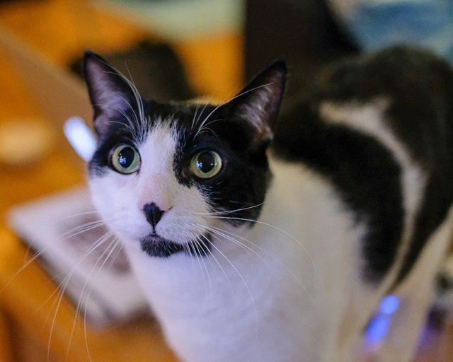 Is it ... food time? Please? #beggy #boy #cat #dexter