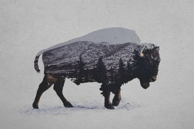 29 Best How To Draw Buffalo S And Bison Images On