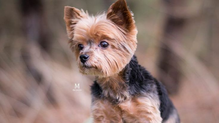 yorkie face trim best 25 yorkshire terriers ideas on pinterest yorkshire 5645