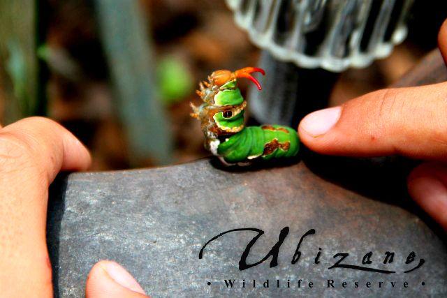 Unidentified Caterpillar.  Cutest little critter!