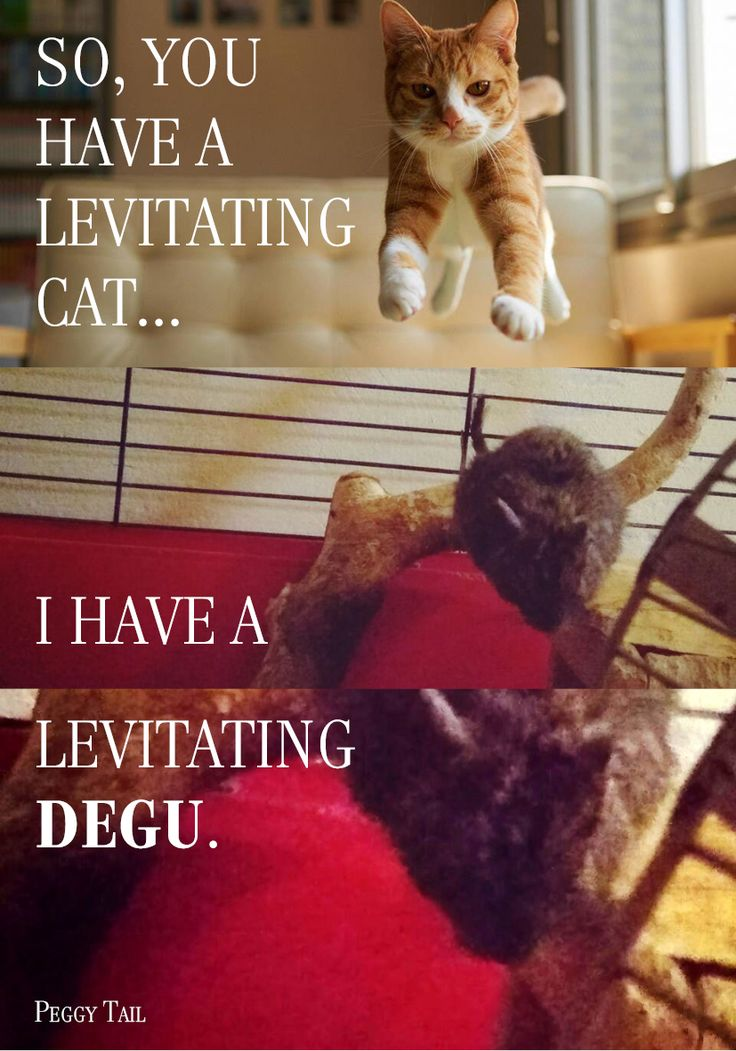 Levitating degu, PeggyTail 1.5.2017