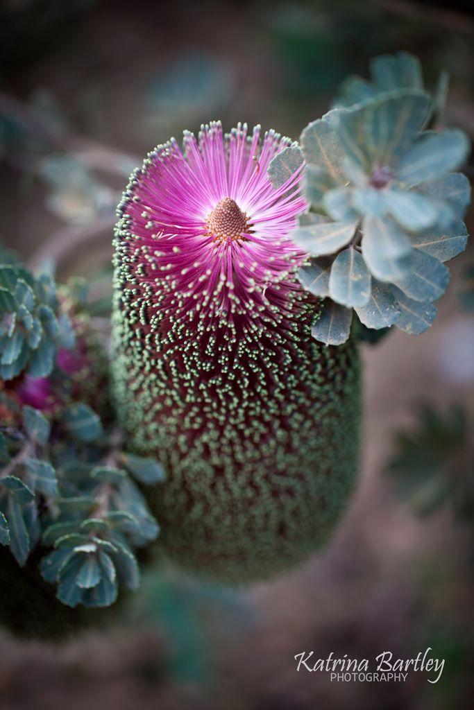 ✯ Australian Banksia - pink praemorsa