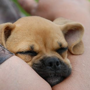 Pug + Beagle = Puggle | 11 Mixed Breed Dogs That Will Melt Your Heart