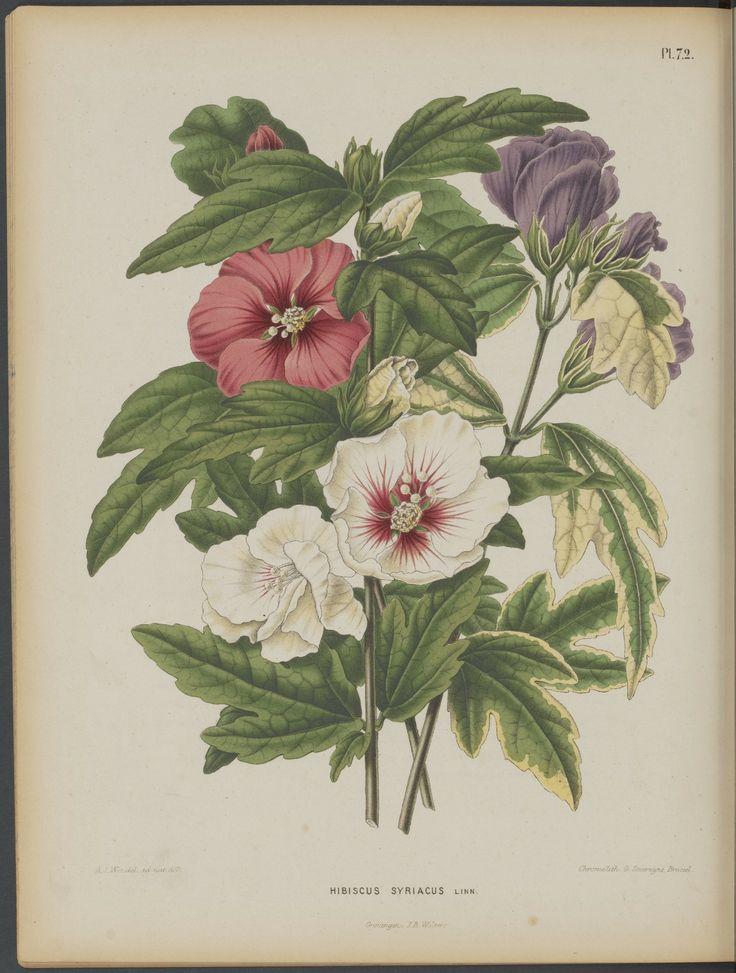 Hibiscus syriacus - Rose of Sharon - circa 1868