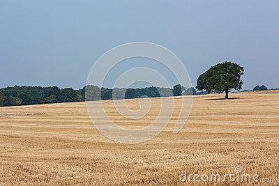 Lonely tree in the middle of stubble. In the distance they published woods.