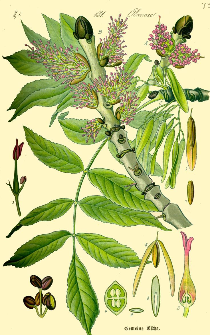 Botanical illustration of ash (Fraxinus excelsior) - around the meadow