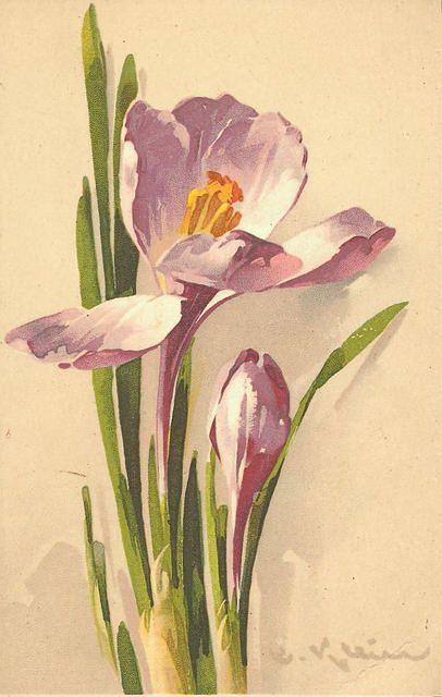 crocus ~ Spring :)