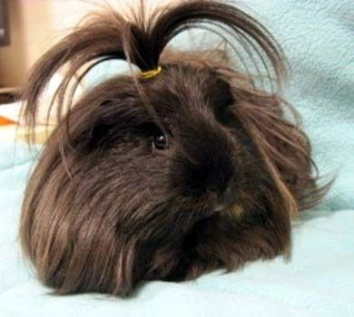 Mr. Top Knot (Available at oregon humane society)