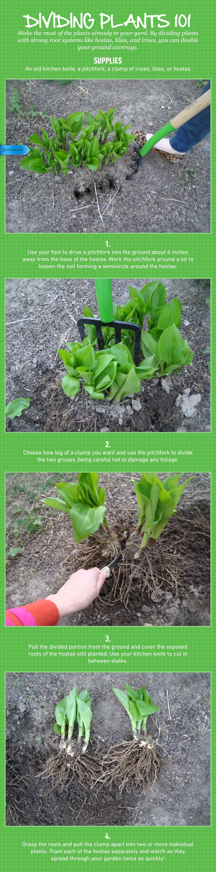 Dividing Plants 101: This old-school dividing technique maximizes existing plants in your yard so you don't have to buy expensive new ones. #gardening101 #keepblooming #readyforspring #hostas #plants #gardening