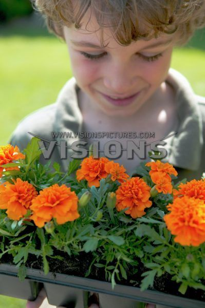 Tagetes in tray